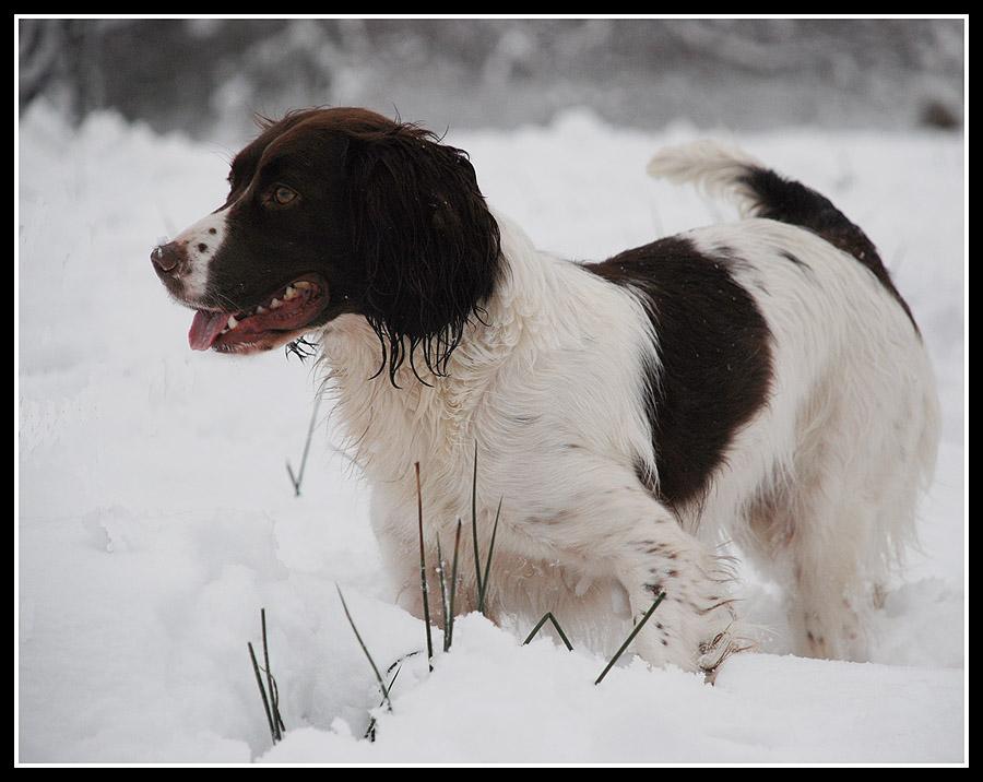 Springer in the snow