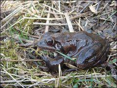 Springfrosch-Männchen