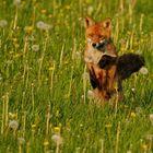 Springing Fox
