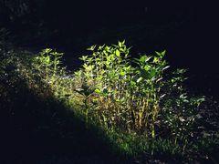 Springkraut im Licht