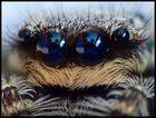 Springspinne...tolle Augen.