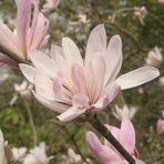 Springtime Magnolia in Wisley Gardens