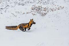 Sprint durch den Schnee