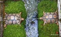 Spuckende Schildkröten
