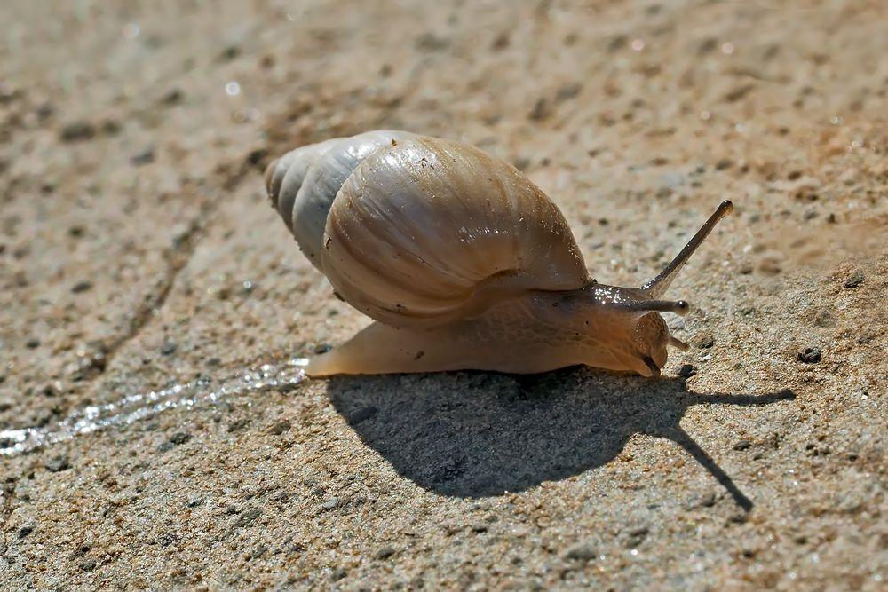 Spuren im Sand. - L'escargot laisse des traces partout...
