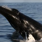 """""""Spyhop"""" eines Buckelwals"""