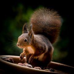 Squirrel der kleine Räuber
