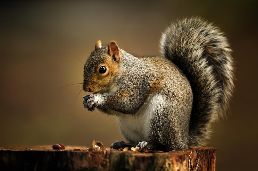 Squirrel - EIN HÖRNCHEN MIT STERNCHEN !