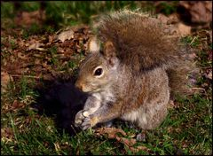Squirrel with a bushy tail