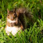 Squirrel_Florida