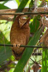 °° Srendib Zwergohreule im Regenwald von Sri Lanka°°