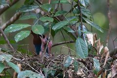 Sri Lanka Blue Magpie (DOKU)