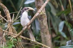 Sri Lanka Grey Hornbill oder Ceylon-Grautoko