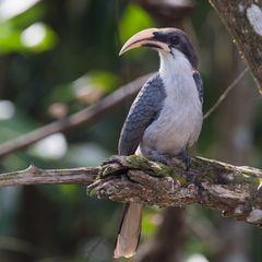 °°Sri Lanka Grey Hornbill°°Wildlife°°