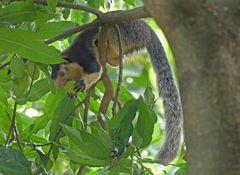 Sri-Lanka-Riesenhörnchen