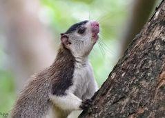 Sri-Lanka-Riesenhörnchen (Ratufa macroura)