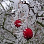 Stachelbeeren im Winter ;-)