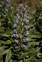 Stachelfrüchtiger Natternkopf - Echium acanthocarpum