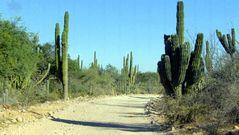 Stachelige Baja California