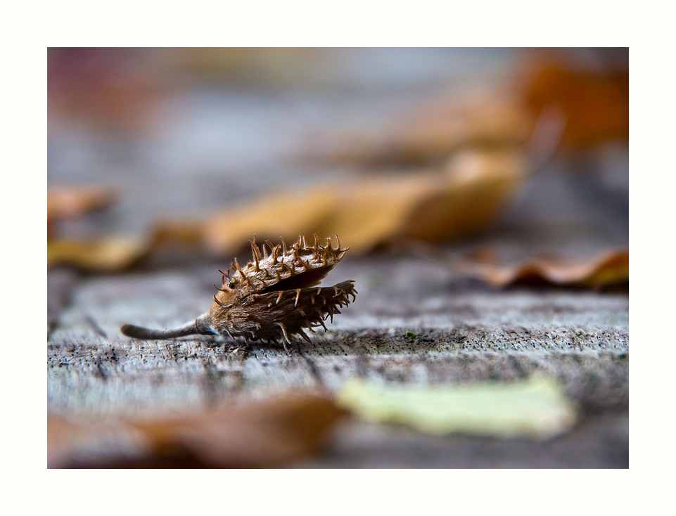 stacheliger Herbstbote
