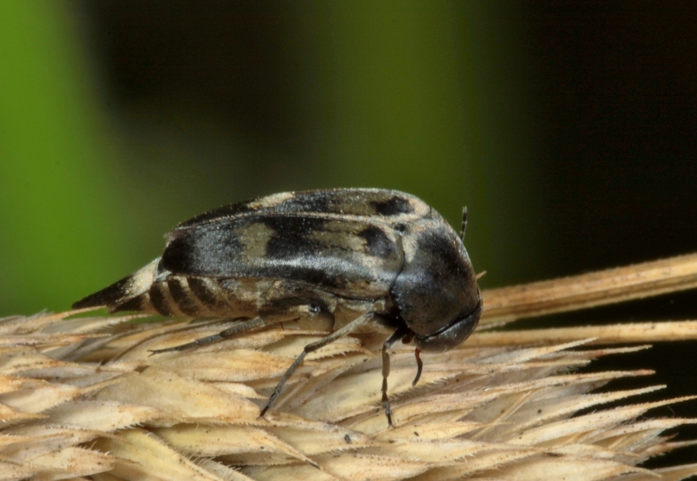 Stachelkäfer Variimorda villosa