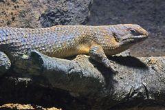 Stachelschwanzskink (2) -Neuwieder Zoo-