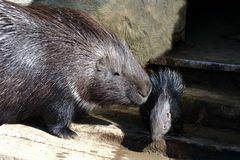 Stachelschwein mit Jungem (Neuwieder Zoo)