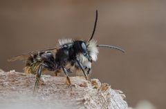 Stahlblaue Mauerbiene (Osmia caerulescens)