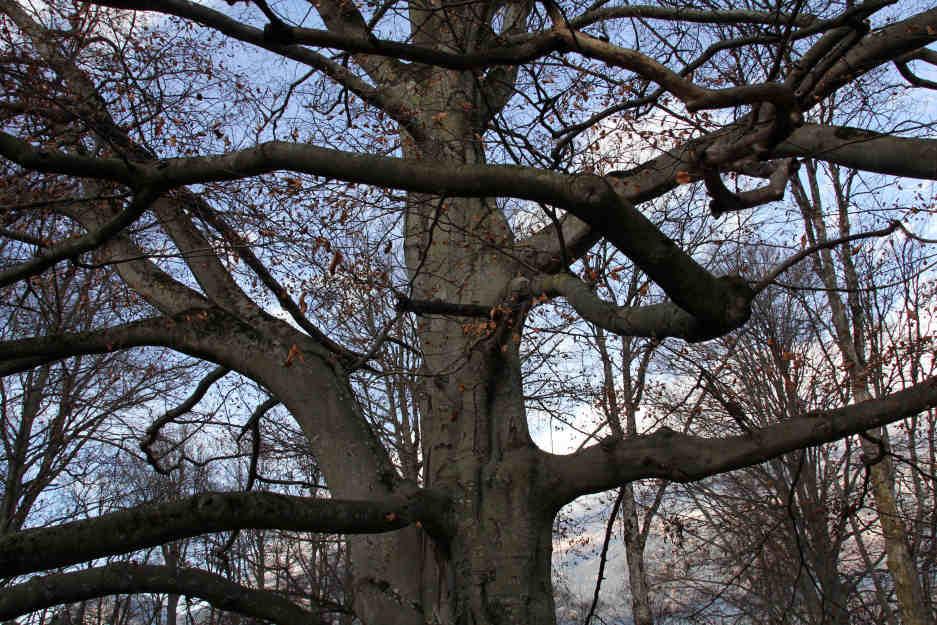 Stamm -Baum