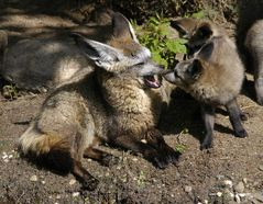Standpauke der Löffelhunde-Mutter an das Junge