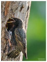 Star an seiner Bruthöhle beim füttern - ( Sturnus vulgaris )