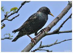 - Star auf seinem Brutbaum - ( Sturnus vulgaris )
