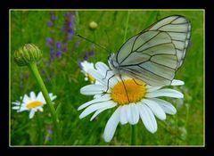 *star papillon*