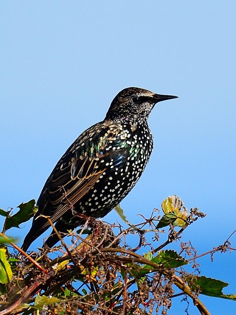 Star, (sturnus vulgaris), Common starling,  Estornino pinto