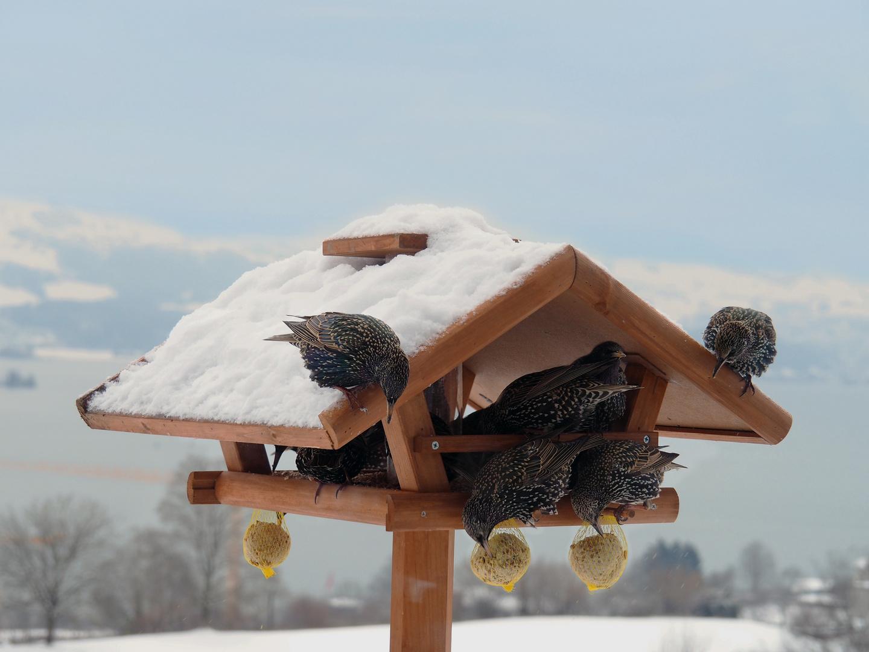 Stare im Vogelhäuschen