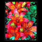 Stargaze Lilies