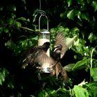 Starlings Squabble