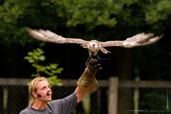 Start eines Falken