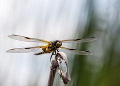 Startbereit Vierflecklibelle (Libellula quadrimaculata)