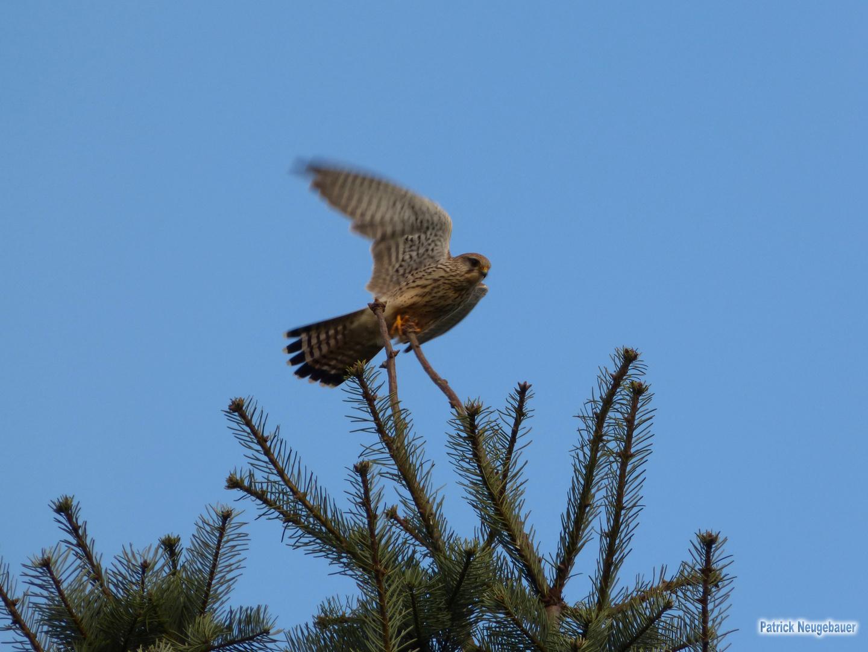 Startender Falke von einem Baum