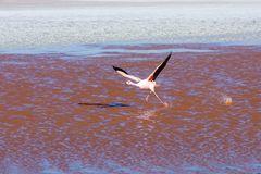 startender Flamingo