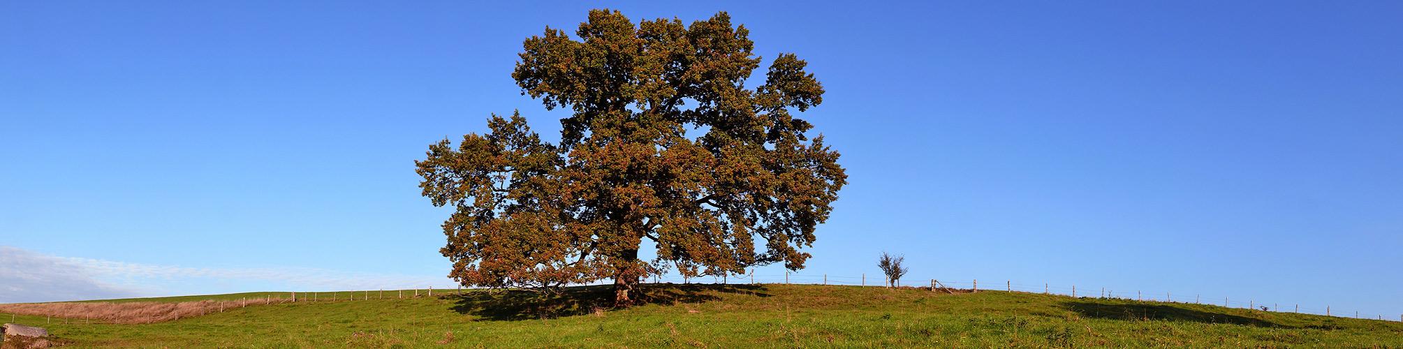 Stattliche Eiche im Herbstgewand