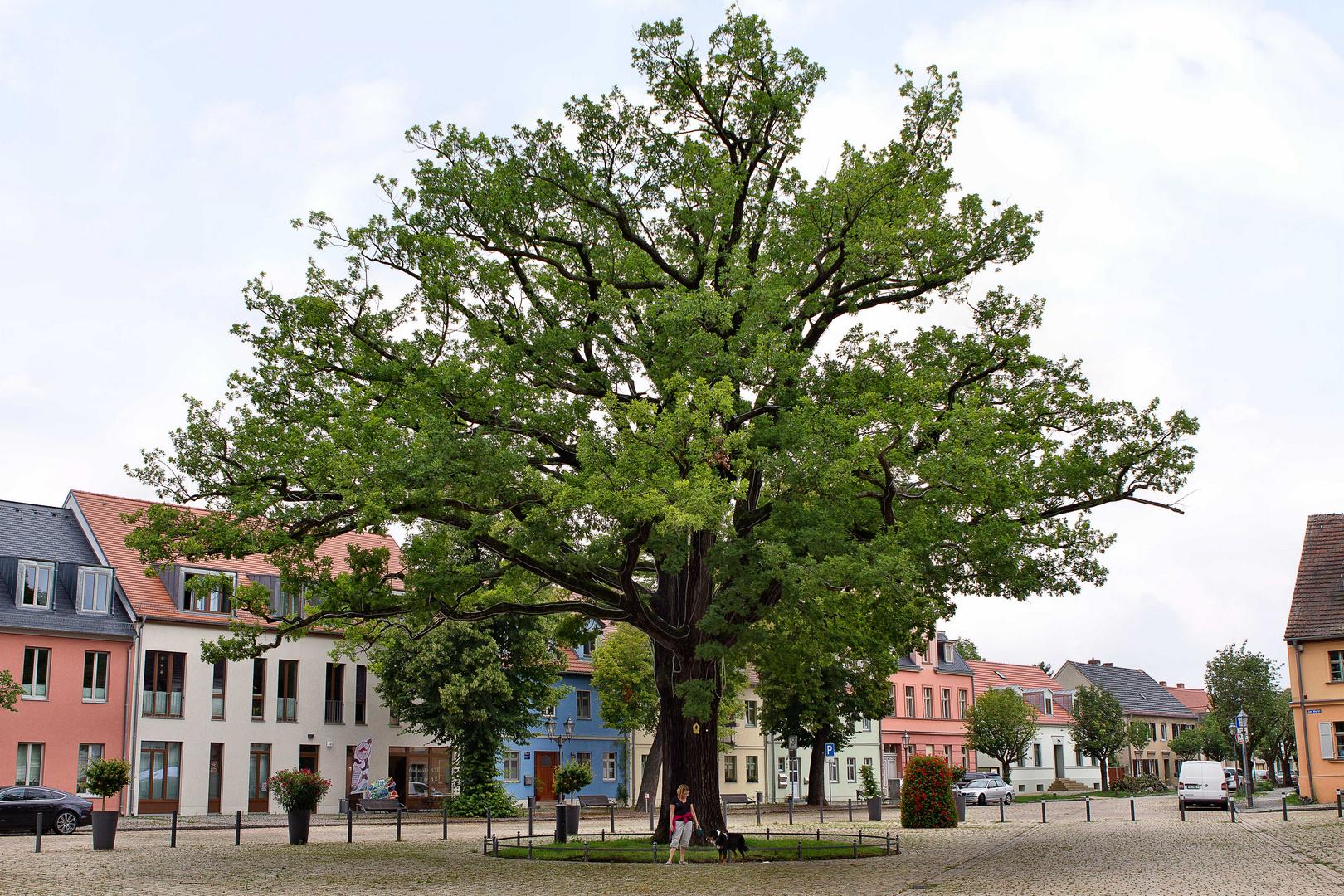 Stattliche Eiche in Werder