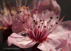 Staubgefäße einer Zierpflaumenblüte