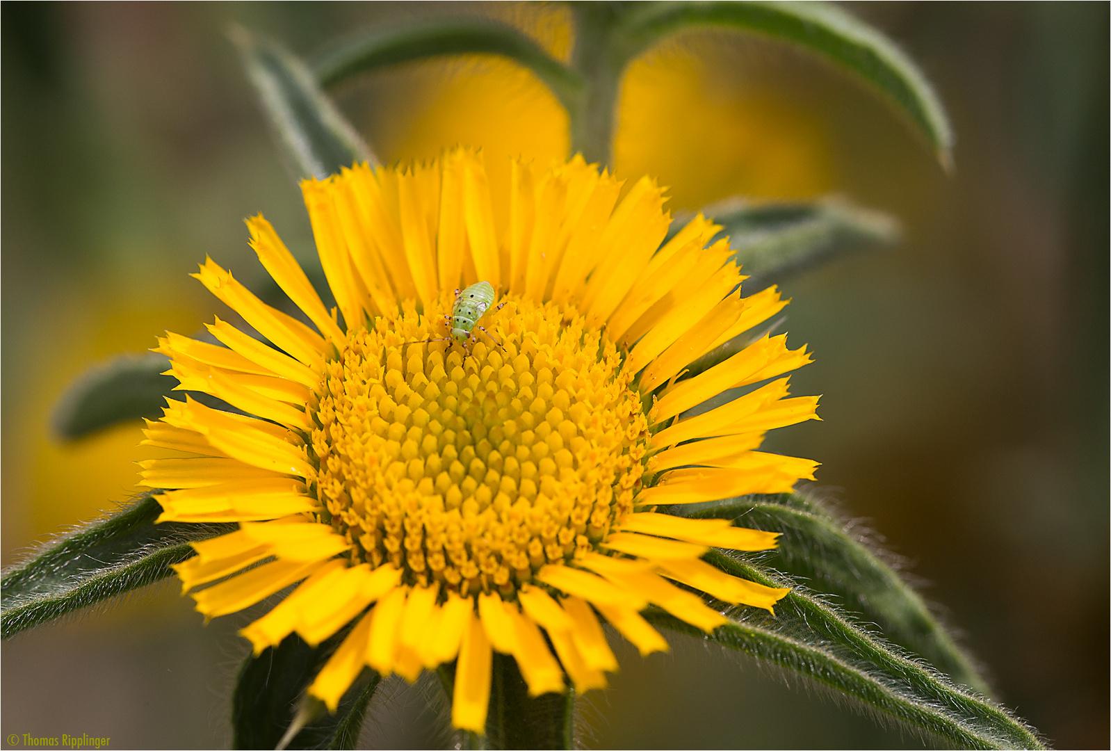 Stechendes Sternauge (Pallensis spinosa).....