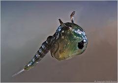 Stechmücken - larve