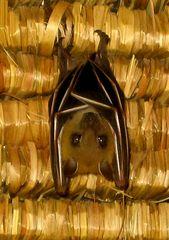 Steckbrief: Die Fledermaus (Microchiroptera)