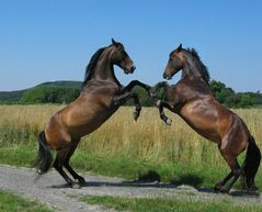 Steigende Pferde