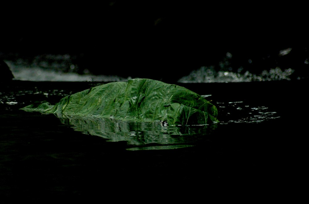 Stein im Wasser, von Blättern des Springkraut umgehüllt