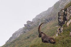 Steinbock im Alpsteinmassiv